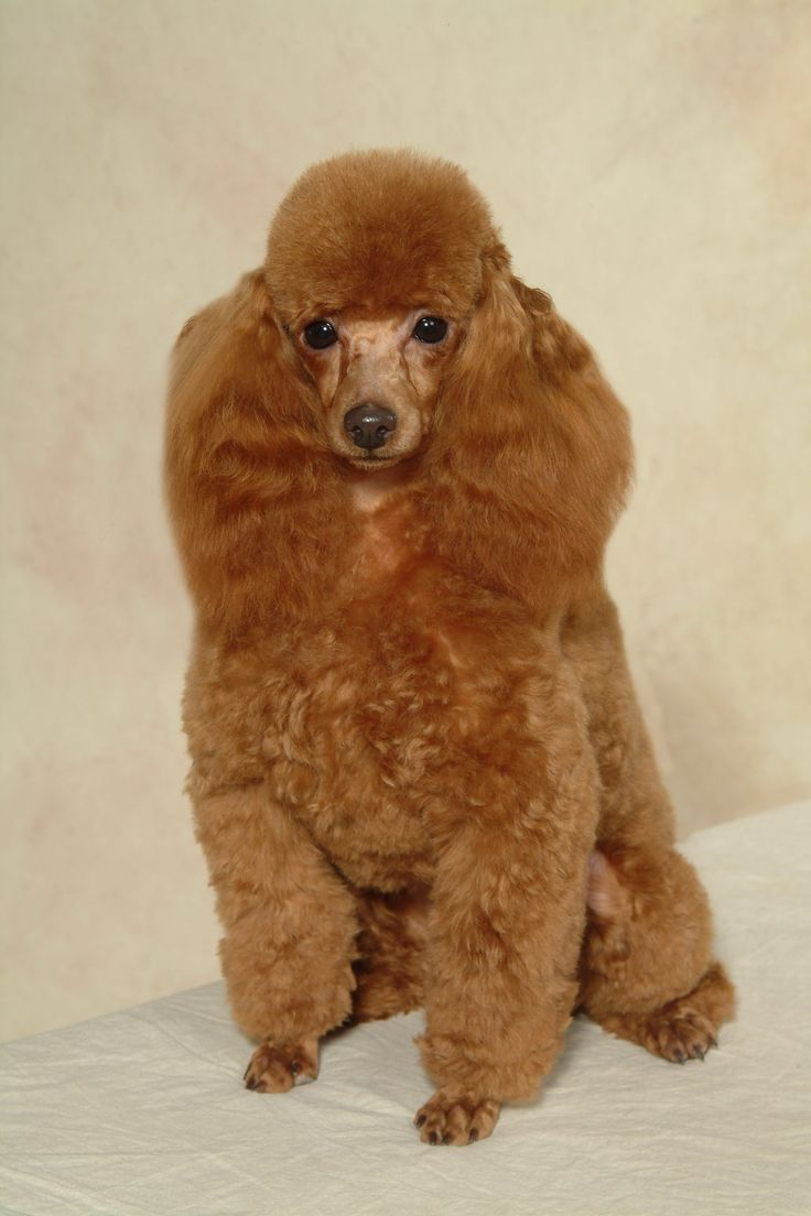 grooming styles haircuts 15 poodles with better hairstyles than you 2670