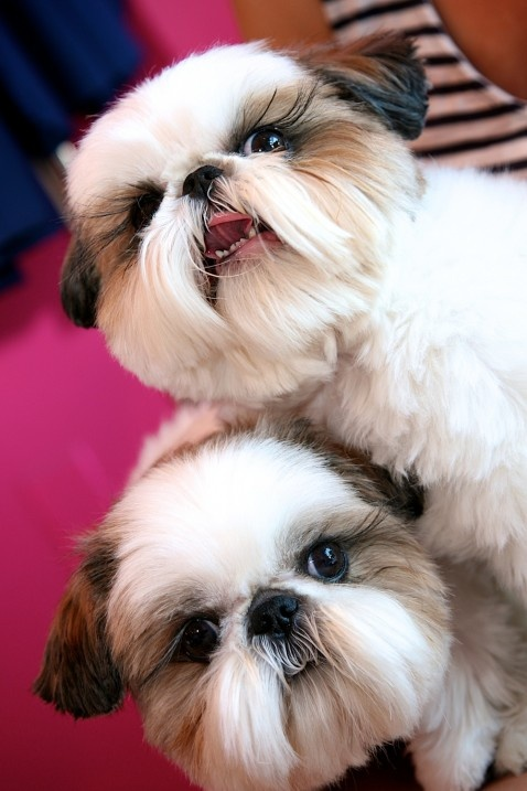 16 Pictures Only Shih Tzu Owners Will Think Are Funny