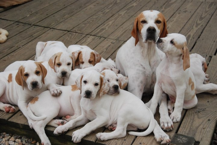 beautiful pointers family