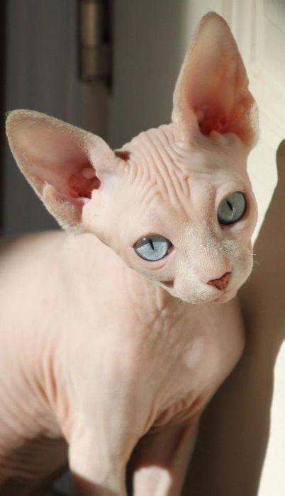 cat face sphynx