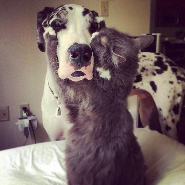 cat playing with great dane