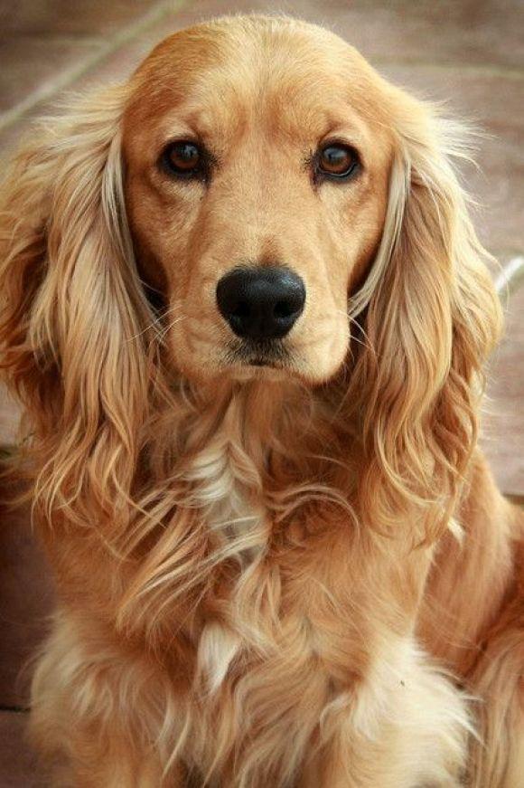 cocker spaniel dog eyes