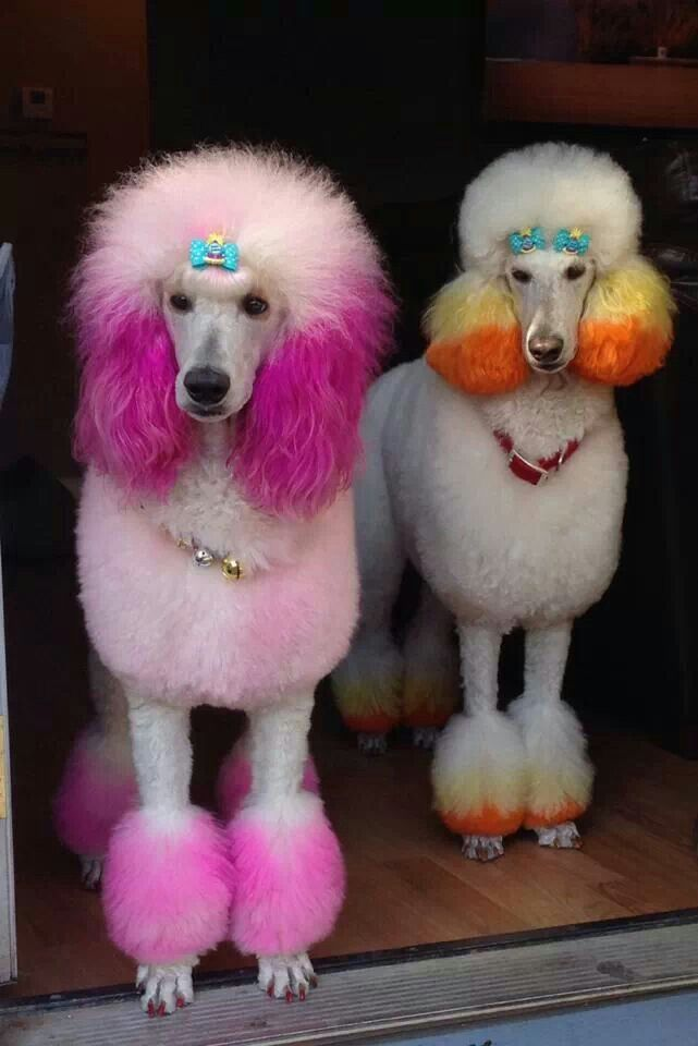 color poodle beautiful style