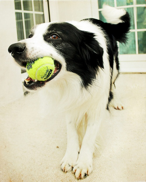 cute collie ball awesome