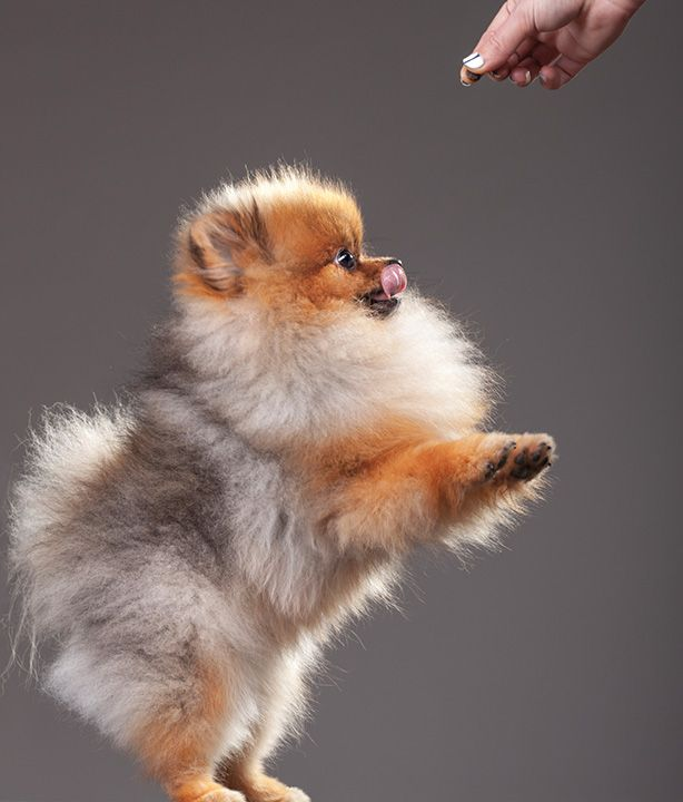 cute dog pomeranian pics photo