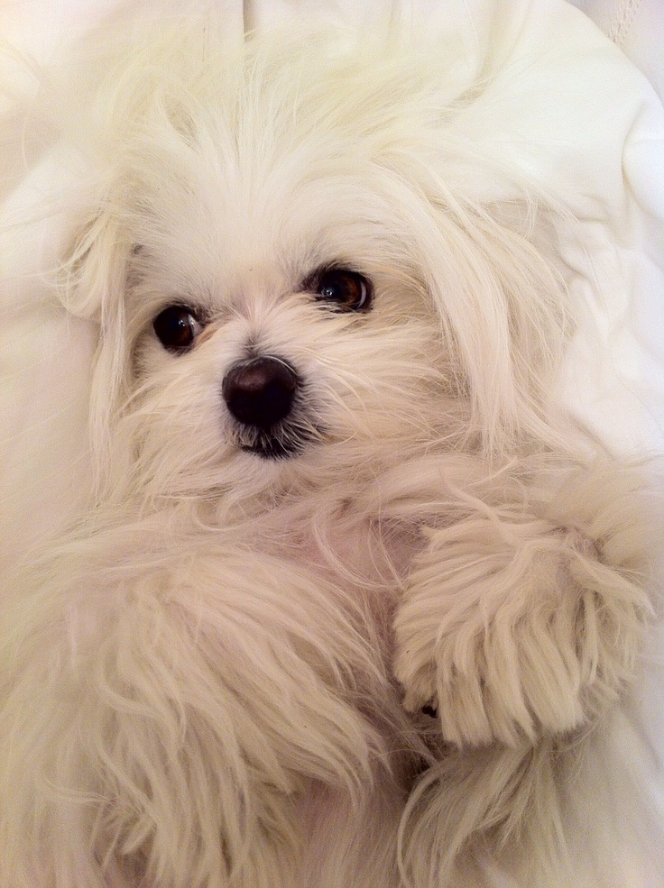 cute dog white maltese