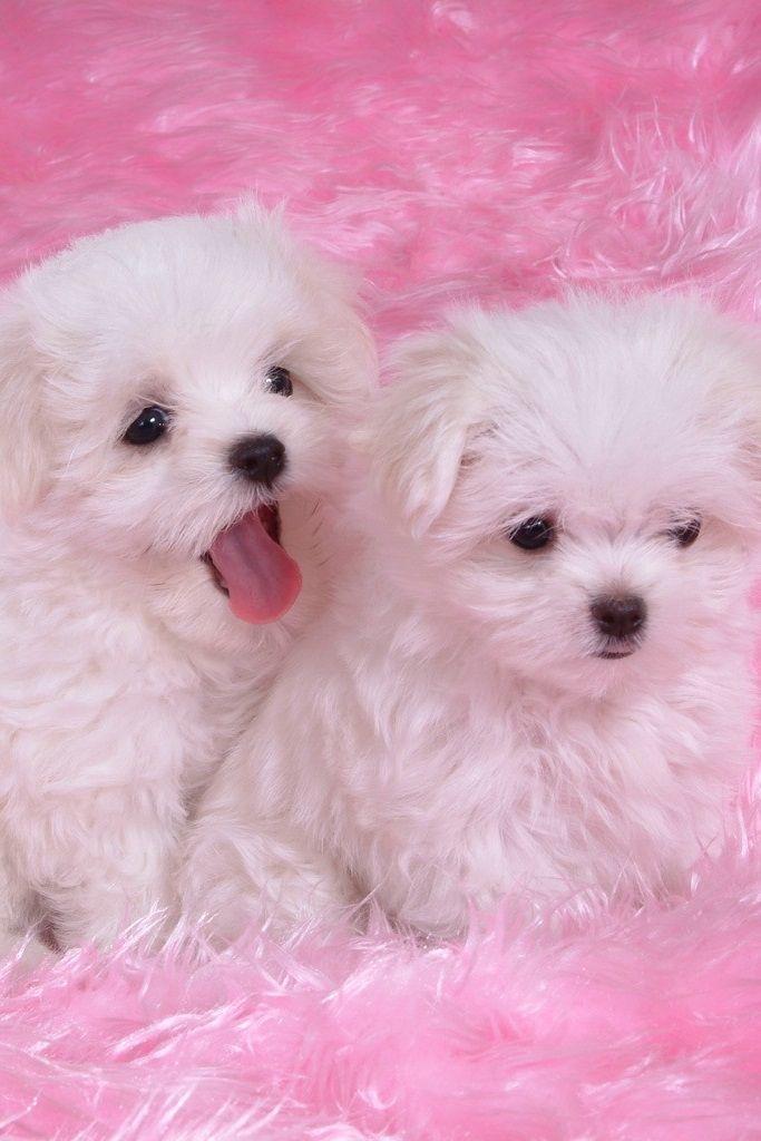 cute dogs maltese pics photo