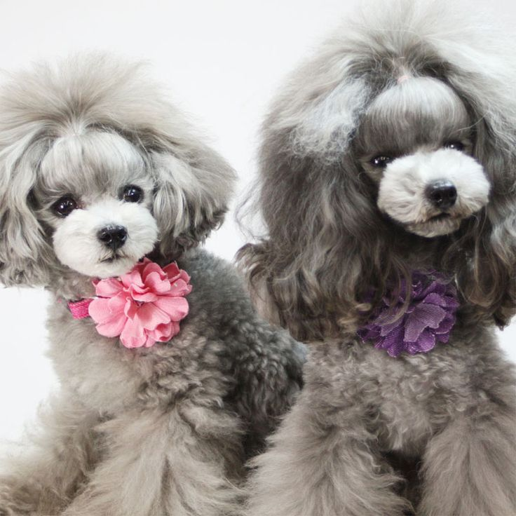 cute dogs poodles hairstyles