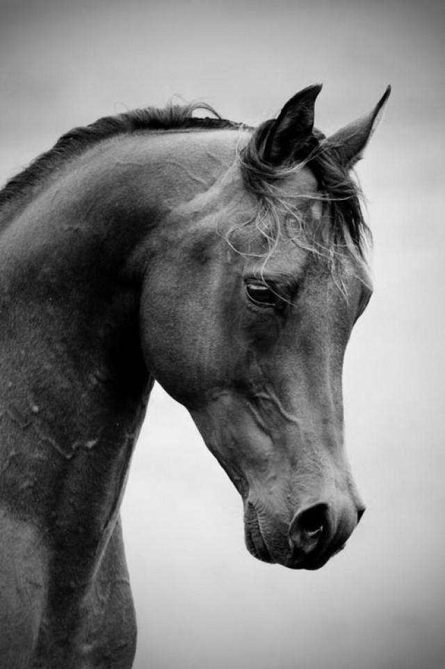 Black horse face close up - photo#40