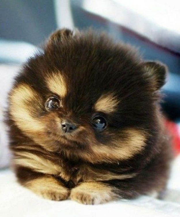 cute face pomeranian pics