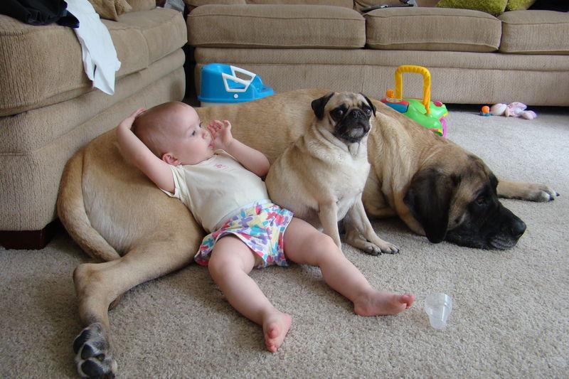 cute kid pug mastiff funny