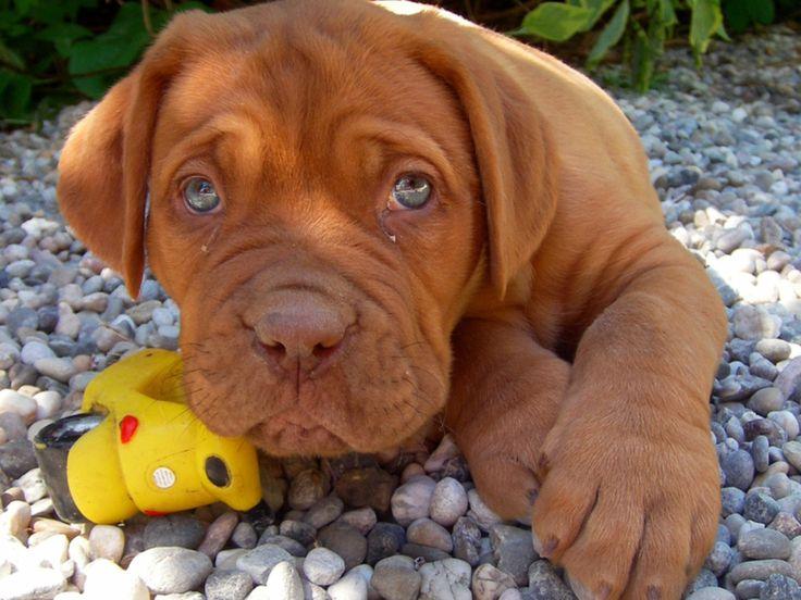 cute mastiff listen cute toy