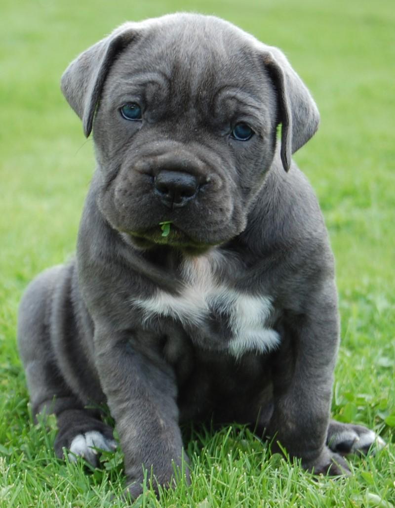 cute mastiff puppy awesome