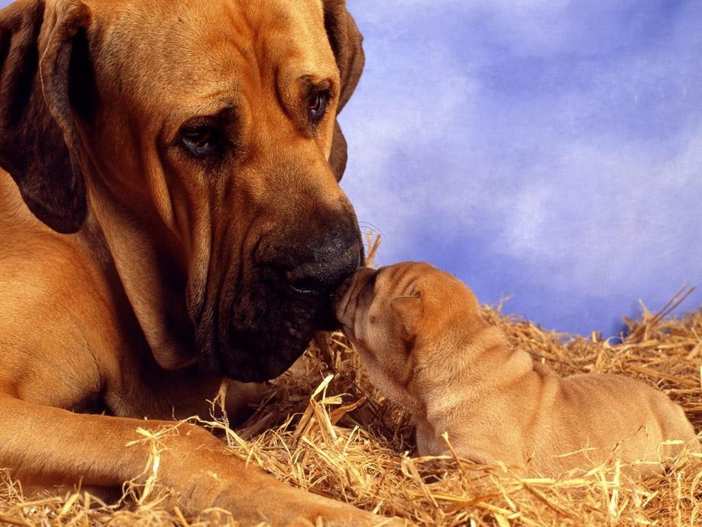 cute mastiff with puppy
