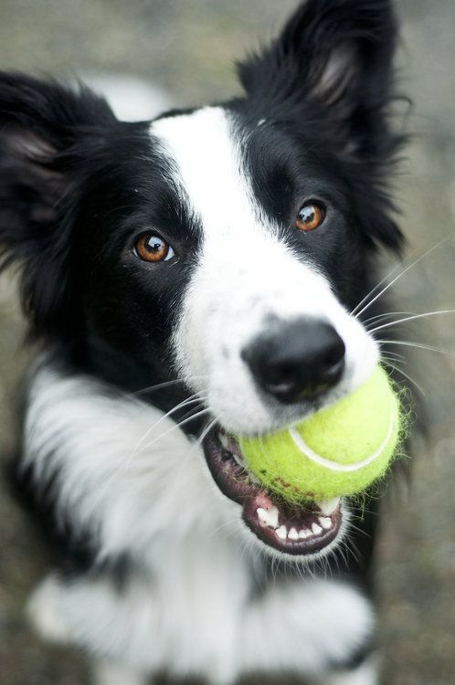 cute playful collie ball