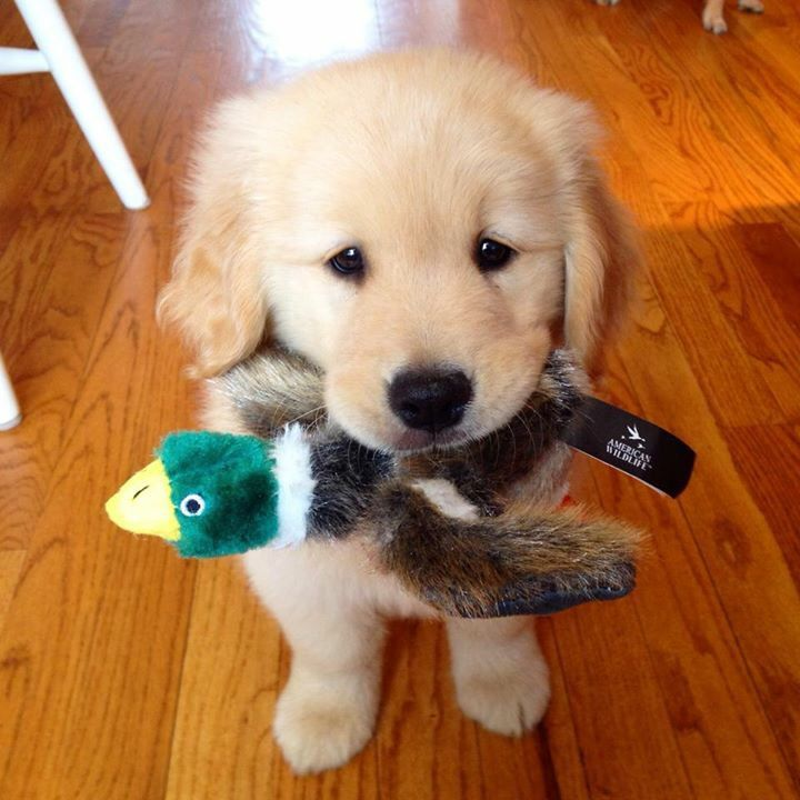 15 cute labrador puppies make you smile cute playful puppy voltagebd Gallery