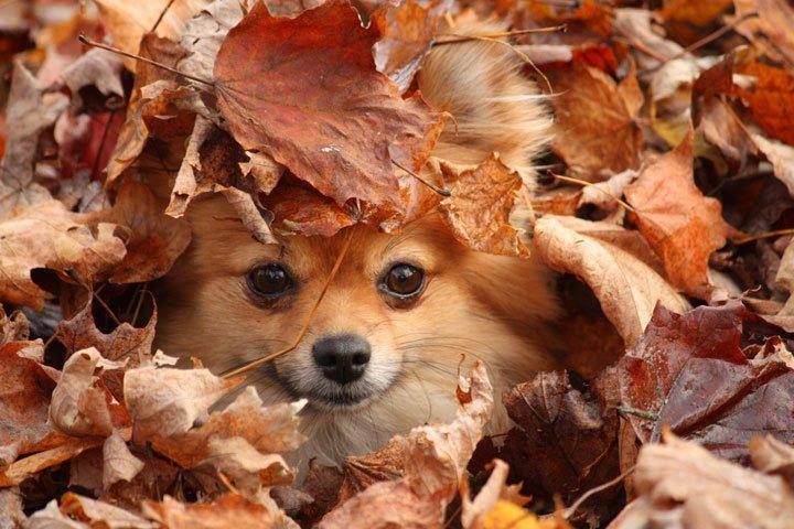 cute pomeranian play leaves