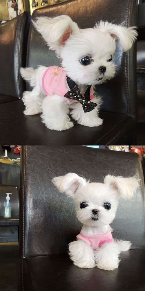 yorkies cute puppy white funny