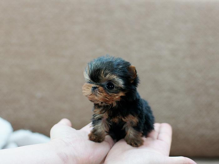 cute puppy yorkie funny