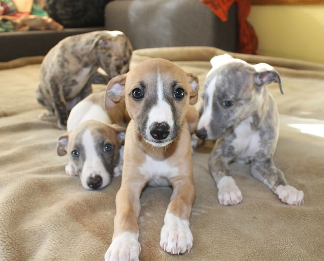 Whippet Puppies For Sale Near Me In Michigan