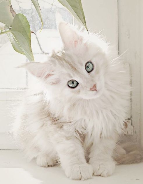 cute white cat beauty