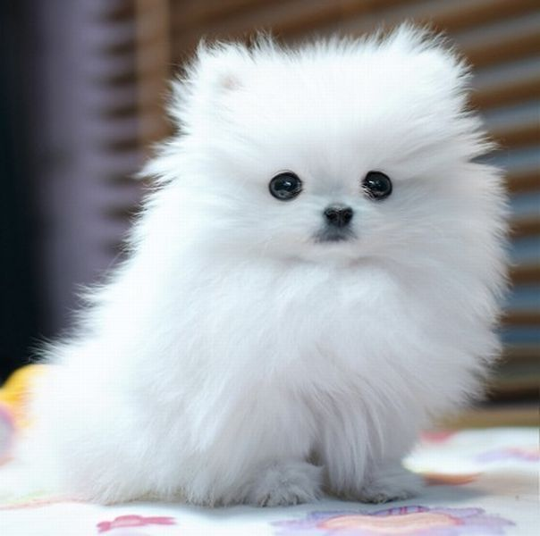 cute white pomeranian dog