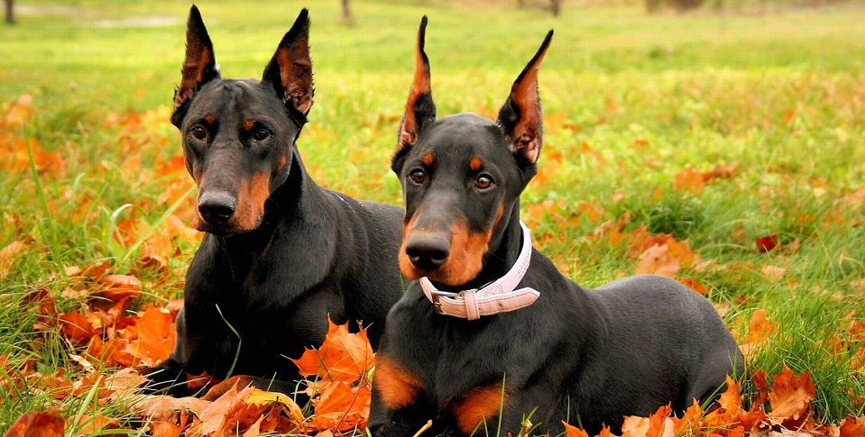 10 Reasons Why You Should Never Own Doberman Pinschers