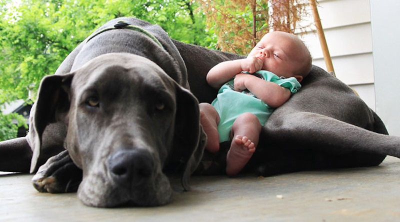 12 Reasons Why You Should Absolutely Never Own Great Danes