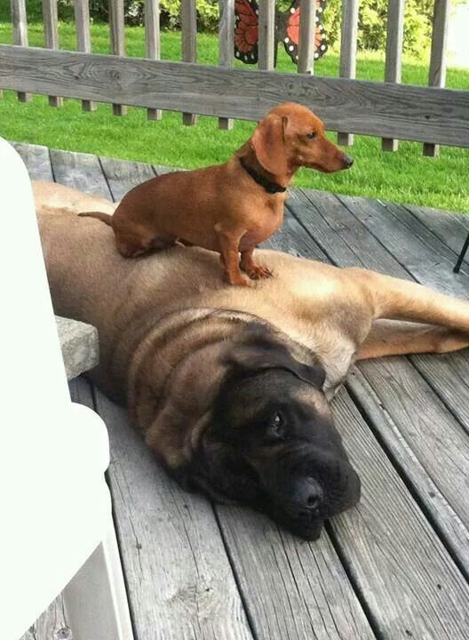doxie dog mastiff rest