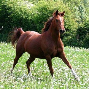 A female adult horse