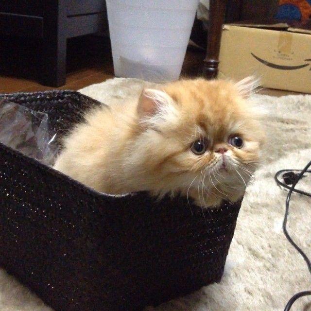 funny cat persian face