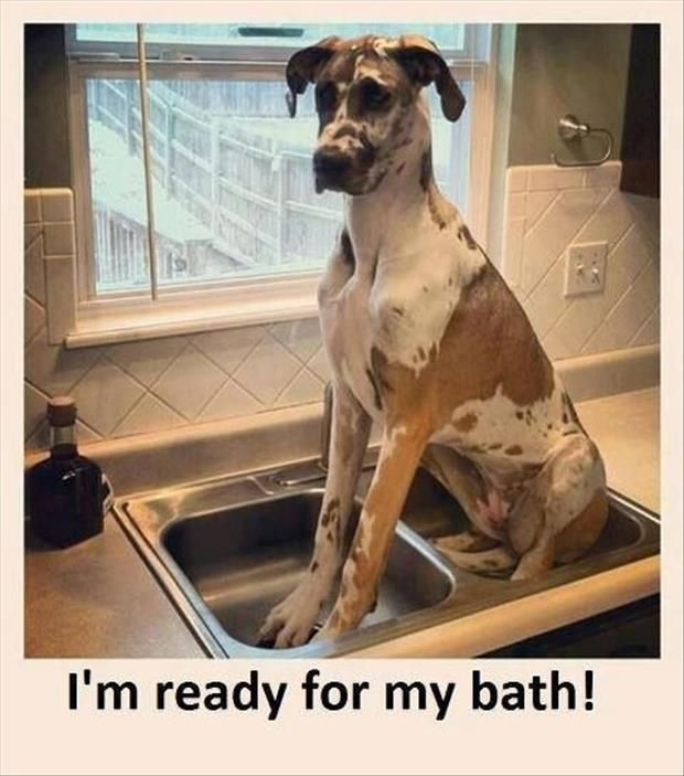 funny dog great dane