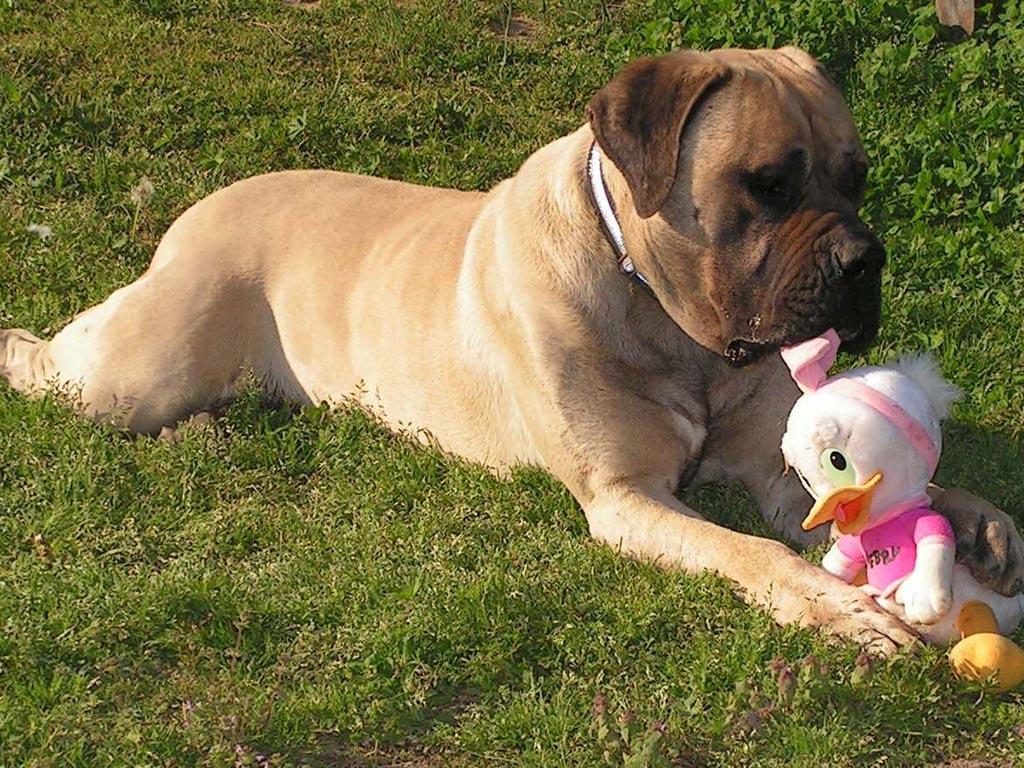 funny mastiff play toy