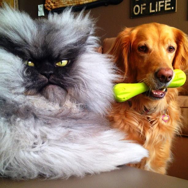 funny persian cat dog friends