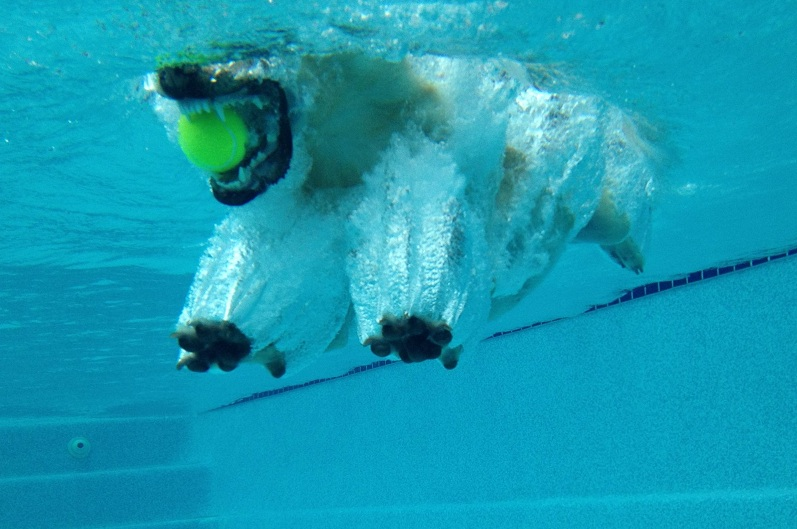funny yellow lab in pool - Free funny yellow lab photos