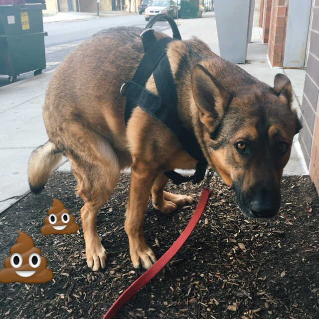 15 Reasons Why You Should Stay Away From German Shepherds