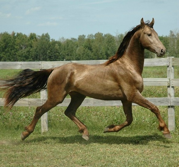 gorgeous horse running