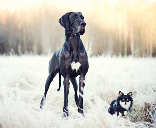 great dane dog friends