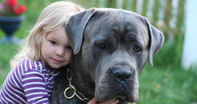 mastiff and girl