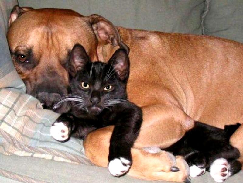 mastiff with cat rest funny