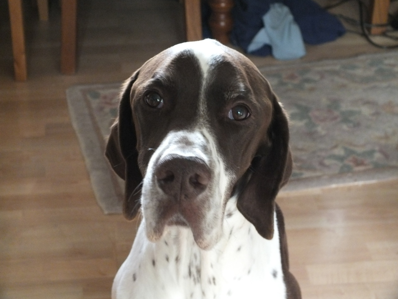 old pointer dog face
