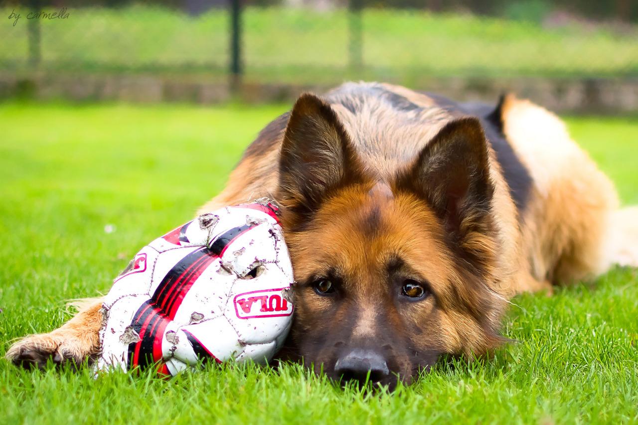 playful dog german shepherd ball