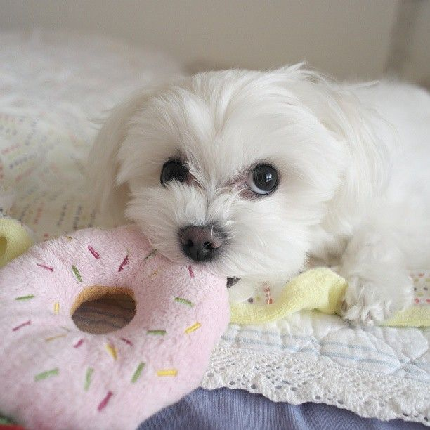12 Reasons Why You Should Never Own A Maltese