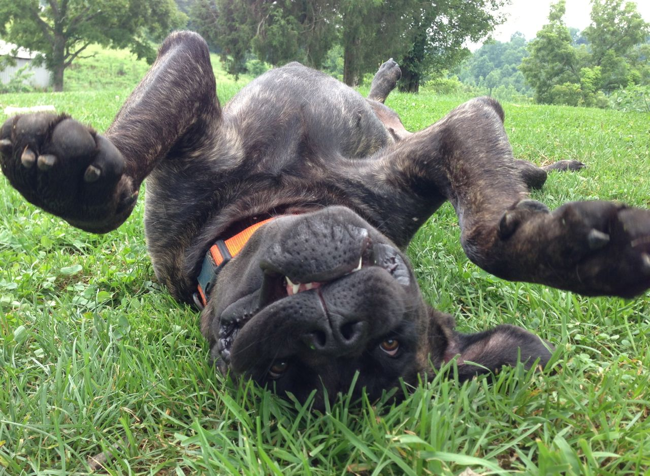 playful mastiff dog photo