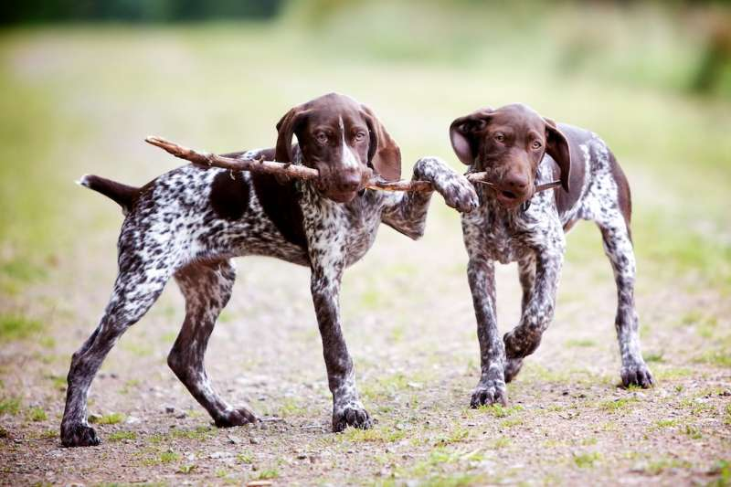 playful pointers photo