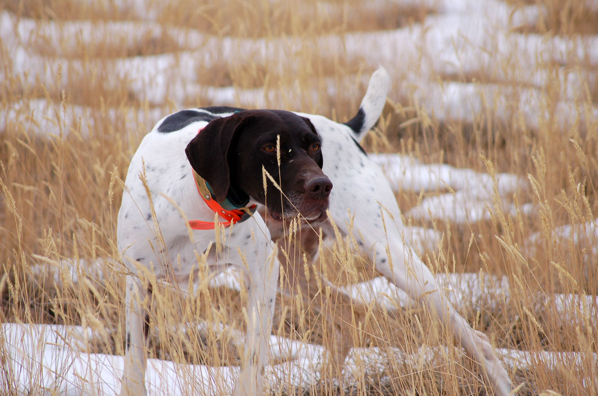 pointer dog hunting