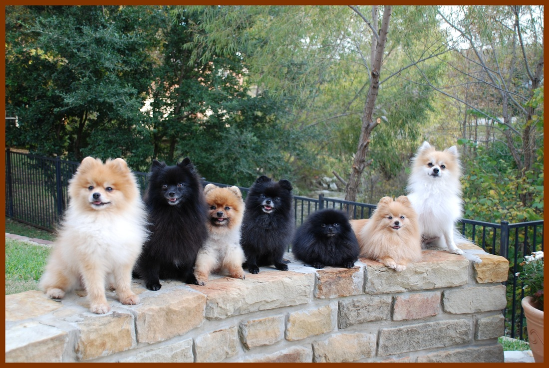 pomeranians listen you dogs