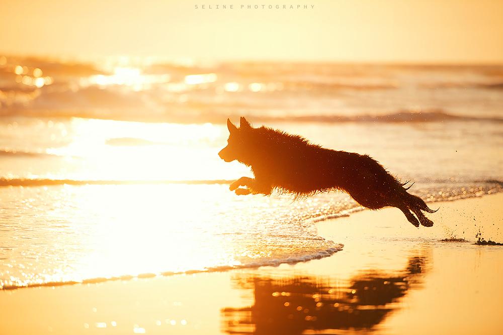 running dog german shepherd sunset