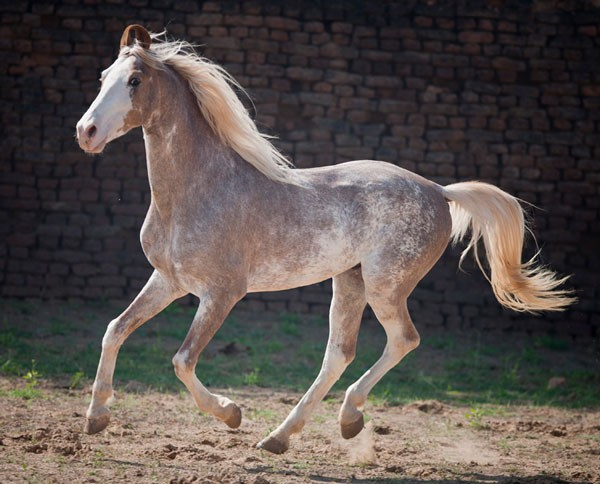 sabino color horse