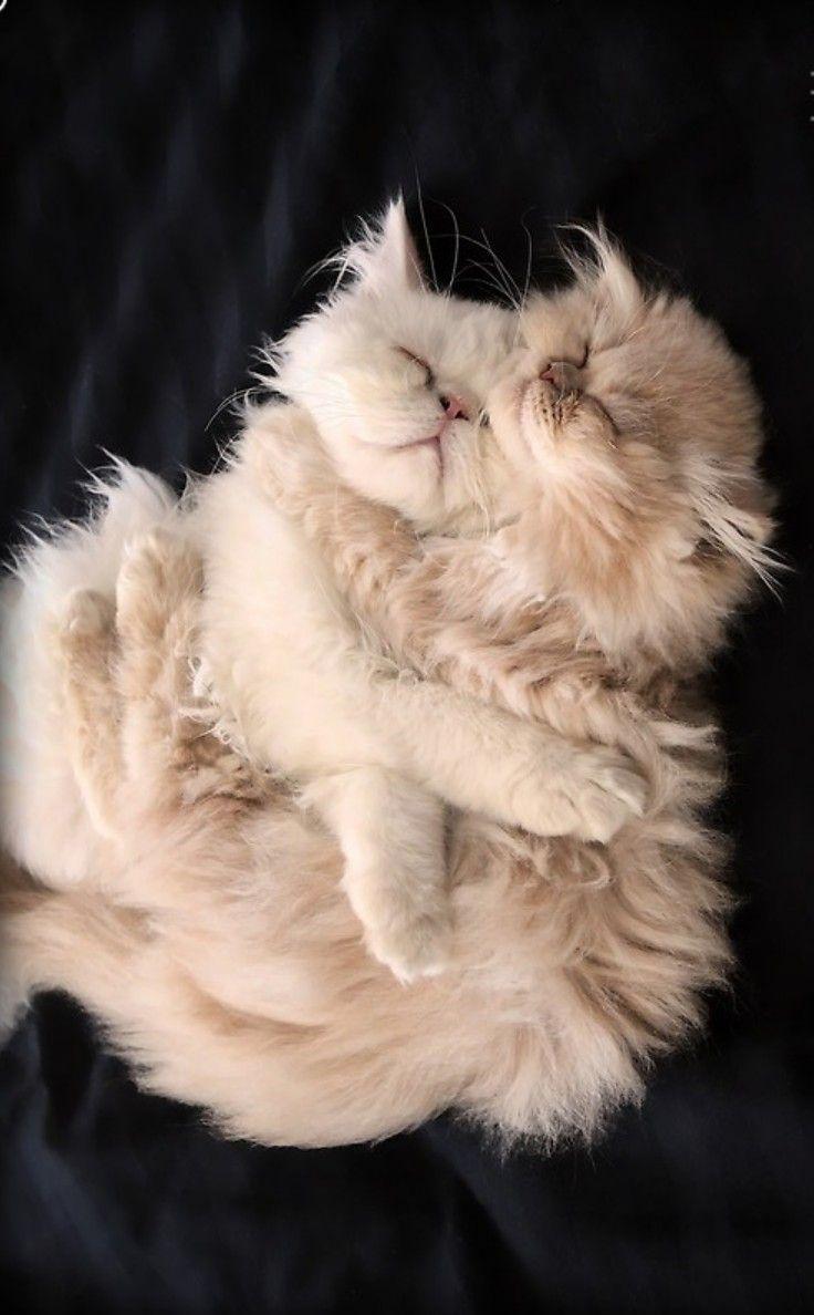 sleep cats cute persian